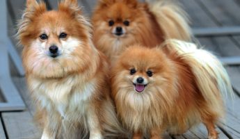 Pomeranian small dog breed 345x200 Ankle Commandos: The 13 Best Small Dog Breeds To Own