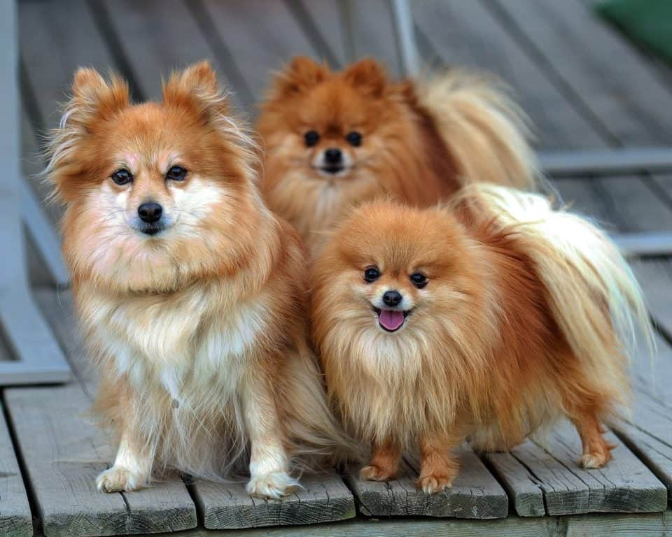 Pomeranian tiny dog breeds