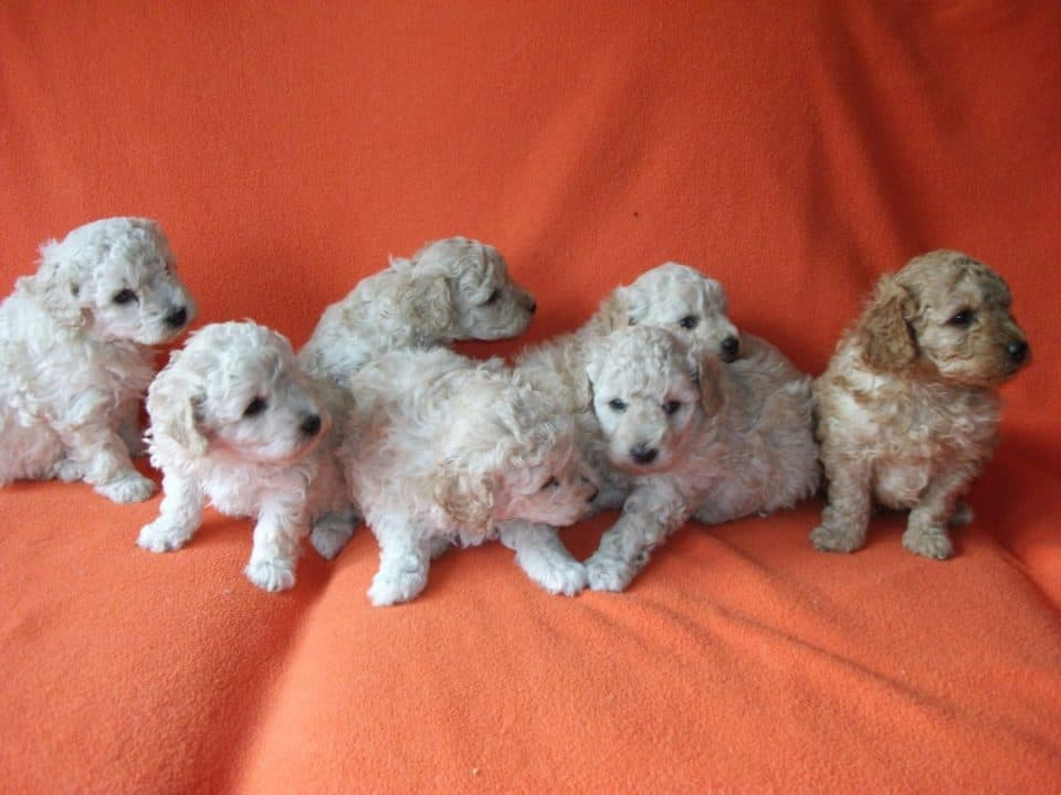 Poodle small dog breed