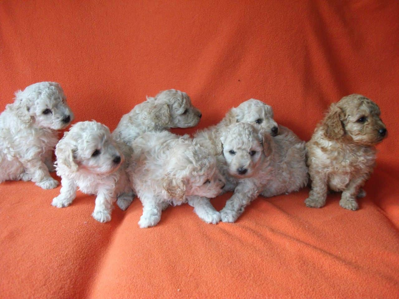 Poodles – small dog breed