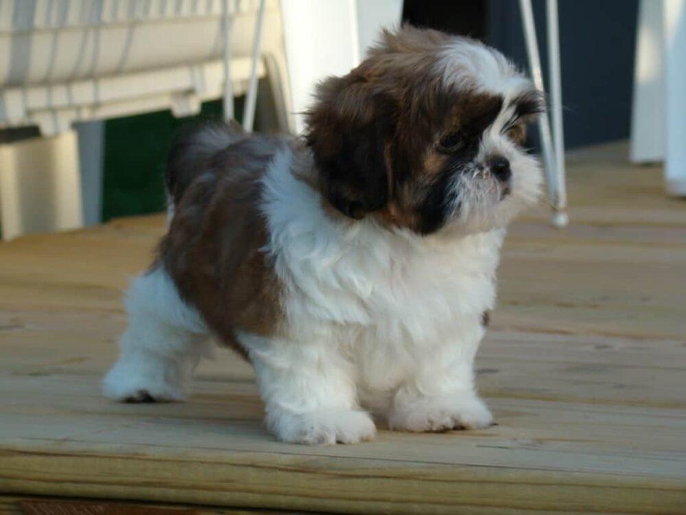 Tiny Cute Dogs - Shih Tzu
