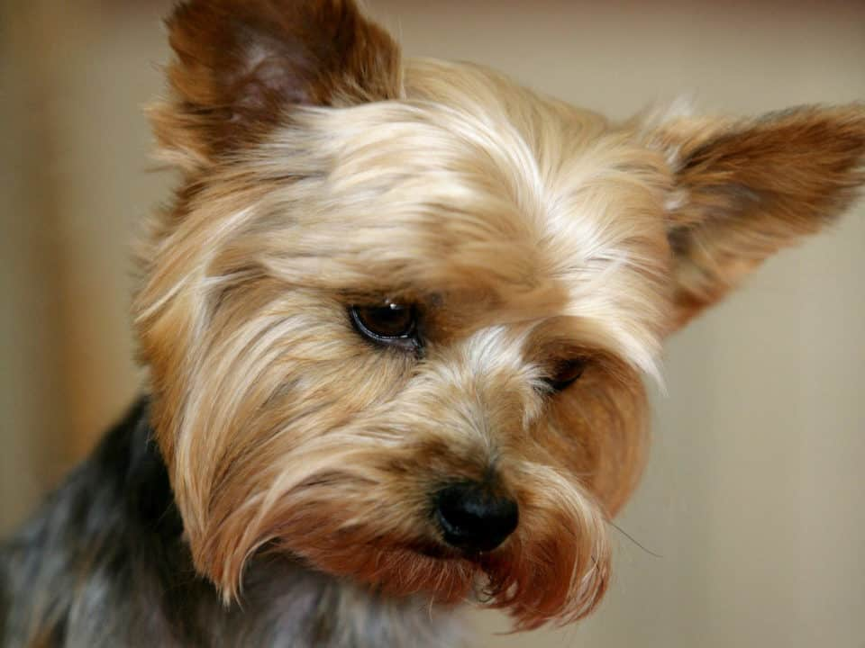Yorkshire Terrier short dog breeds