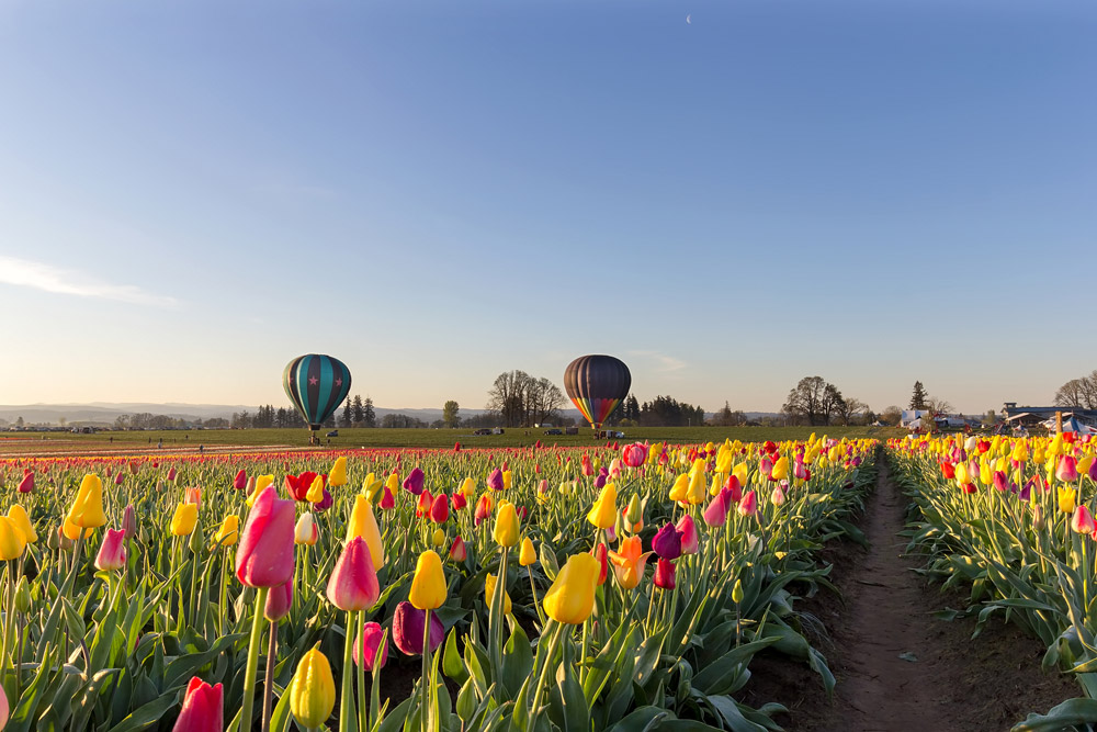 Hot Air Balloons at Tulip Field in Oregon