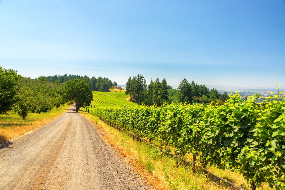 Willamette Wine Valley - Gravel road passing vineyards near Dundee