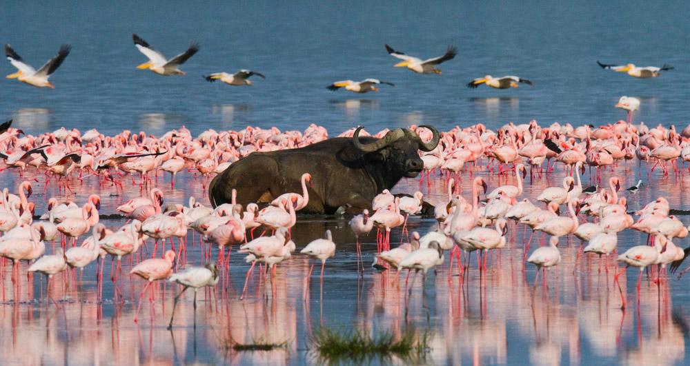 Buffalo and flamingos, Soda Lakes, Kenya