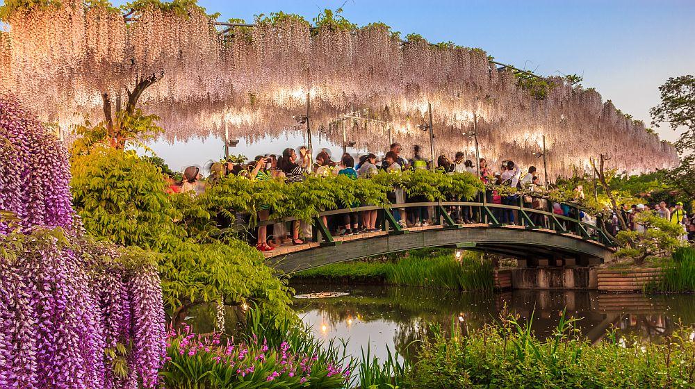 hite wisteria trellis bridge at dusk at Ashikaga Flower Park