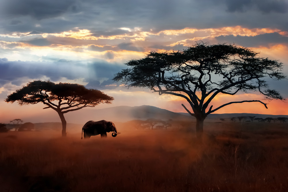 Wild African elephant in the savannah - Serengeti National Park