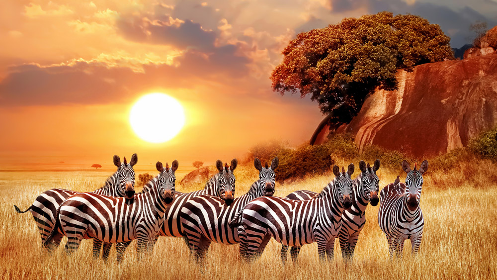 Zebras group in the African savanna - Serengeti National Park