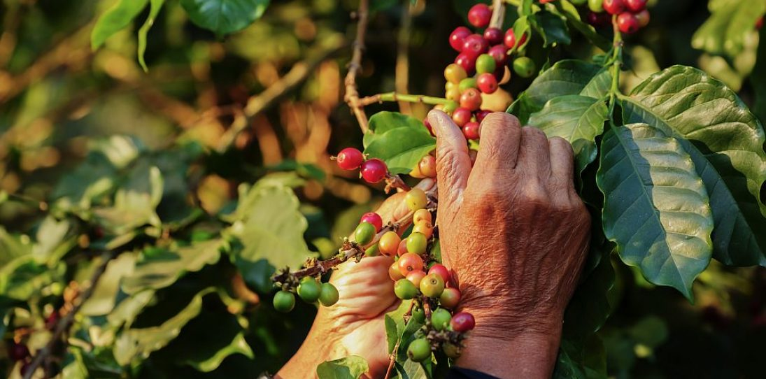 Organic coffee - small holders