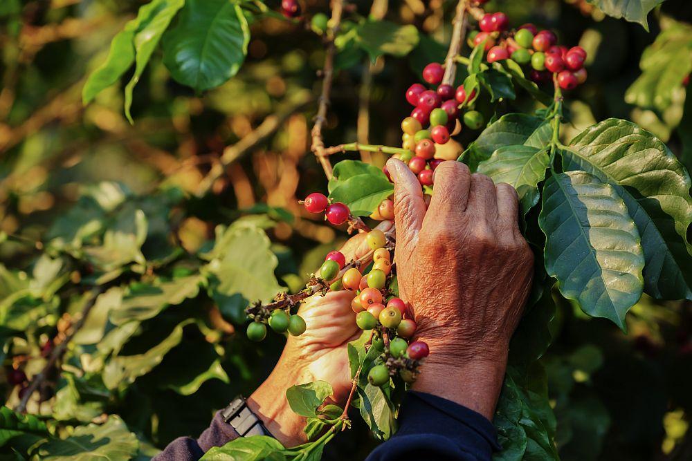 Organic coffee - small holders