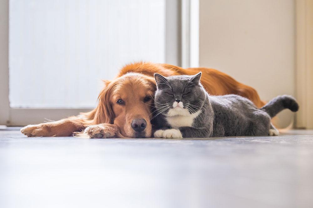 Best-Cat-Breeds-British-Shorthair