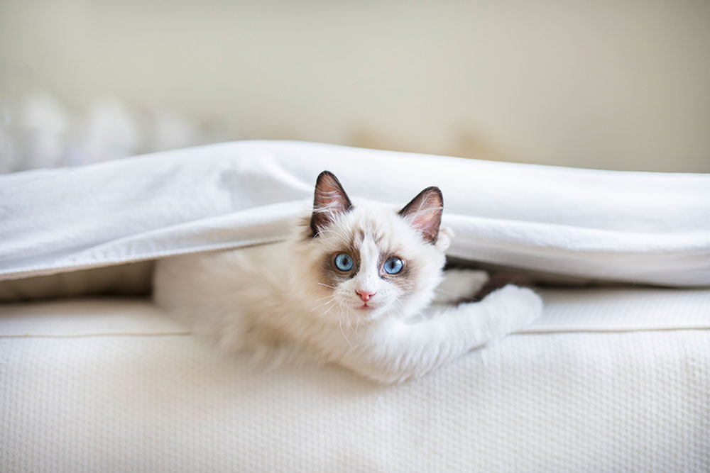 Big-House-Cat-Breeds-Ragdoll