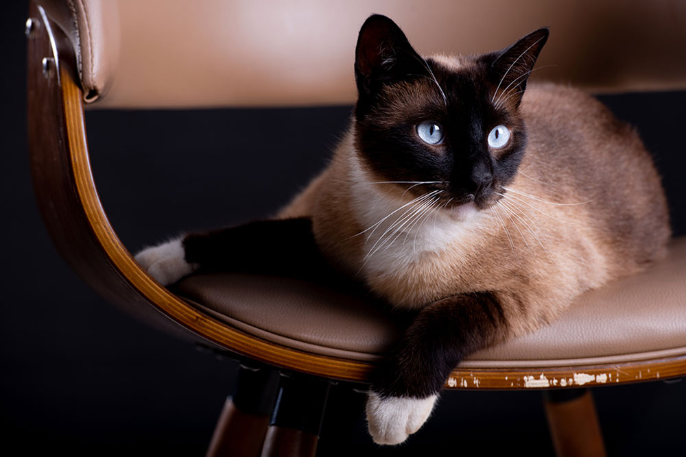 Black-and-White-Cat-Breeds-Siamese-Cat