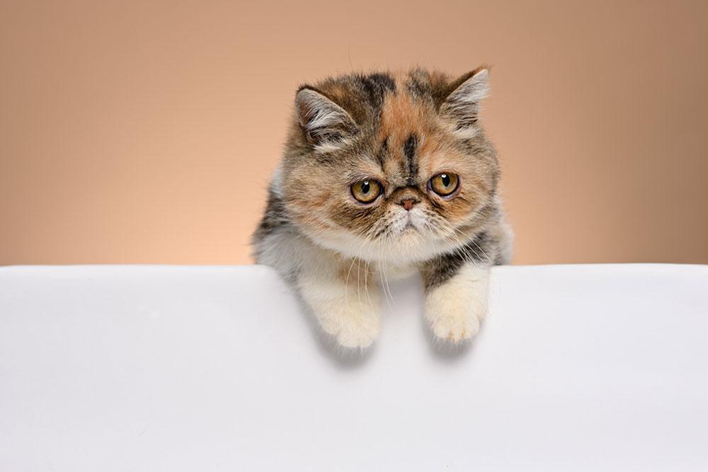 Cute-Kitty-Exotic-Shorthair