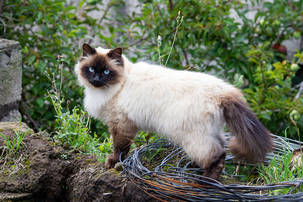 Cutest-Cat-in-the-World-Himalayan-Cat