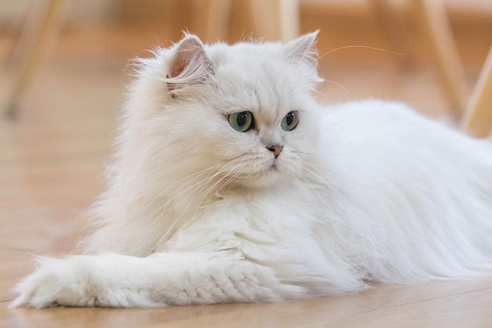 Cutest-Cate-Breeds-Persian-Cat