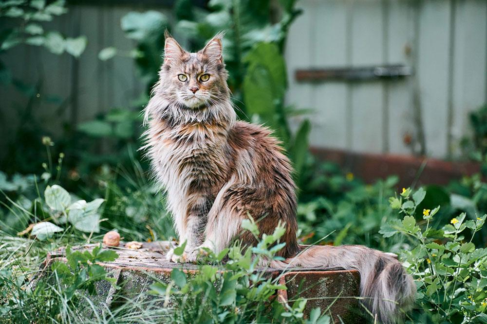 Gorgeous-Large-Cat-Breeds-Main-Coon-Cat