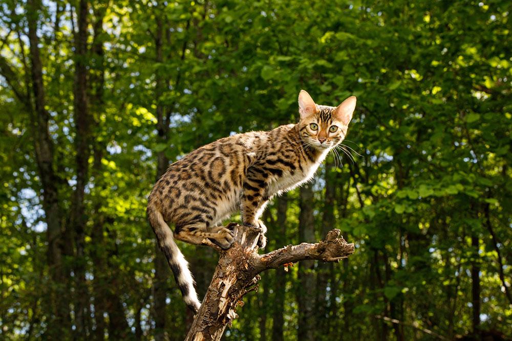Large-Cat-Breeds-Bengal-Cat