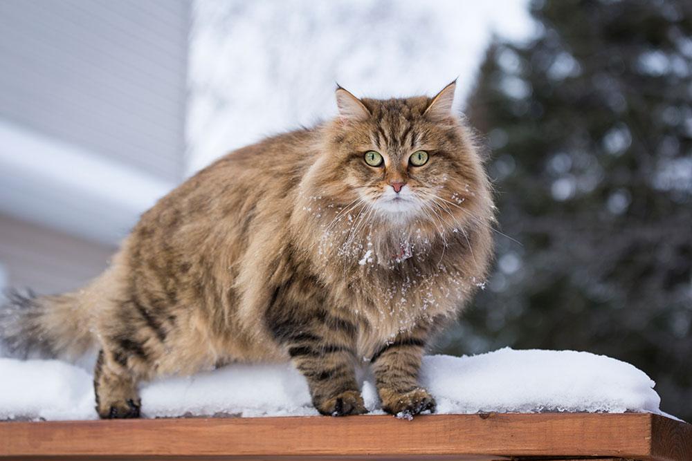 Long-Haired-Cat-Breeds-Siberian-Cat