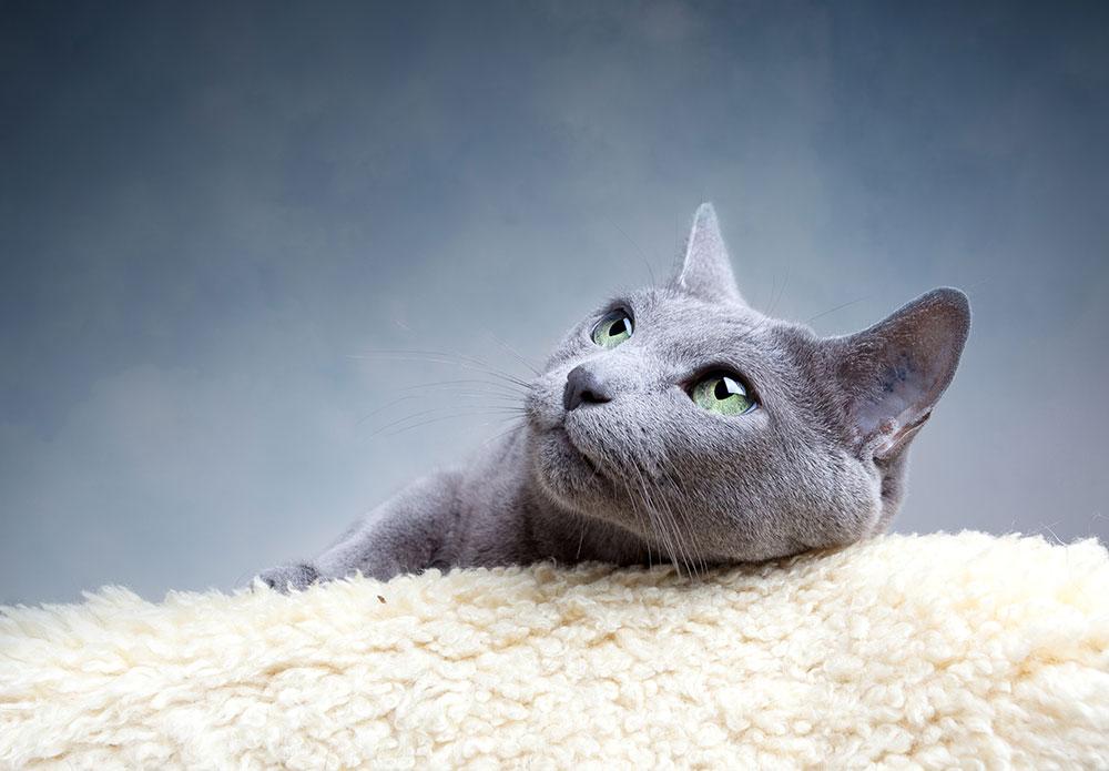 beautiful-russian-blue-cat